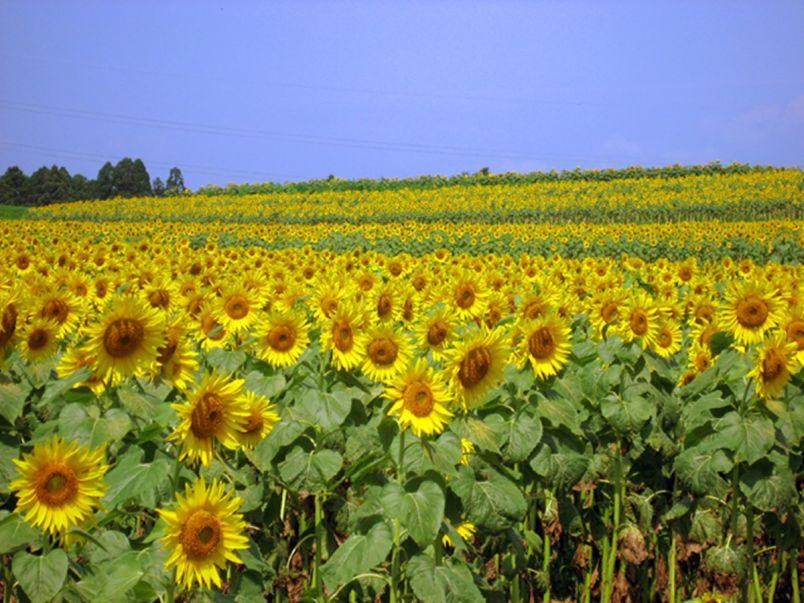 夏の絶景といえばコレ!いましか見られない全国のひまわり畑9選