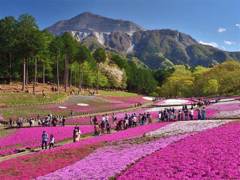 #いつか行きたい キュートな芝桜ピンクに包まれる!秩父の花スポットめぐり