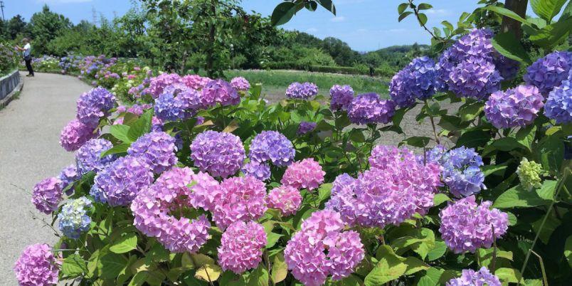 大阪の体験型農業公園に咲き誇る500株のアジサイと風鈴で日本の夏の風物詩を堪能