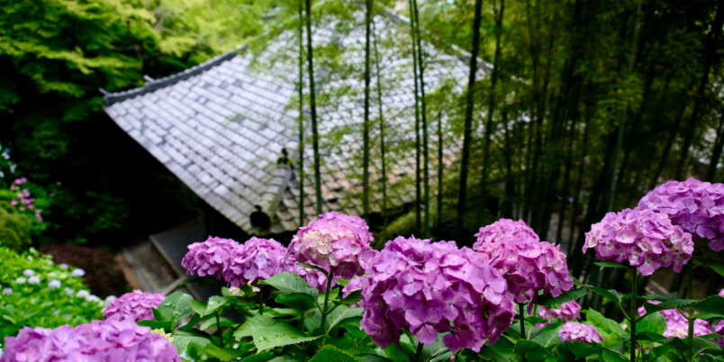 【2021】鎌倉・長谷寺のあじさい|初夏の鎌倉は花の寺へ。色彩が鮮やかに踊る長谷寺の「あじさい路」