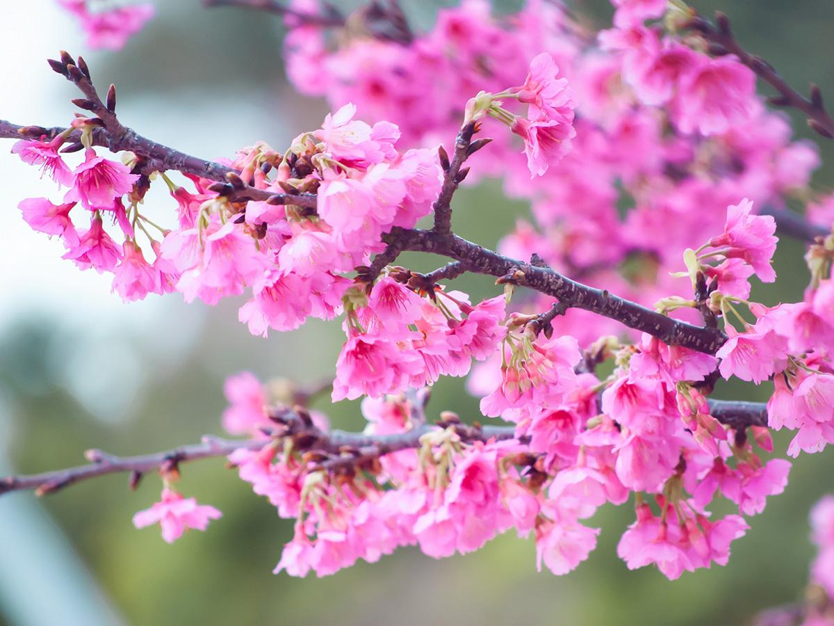 見頃 2020 桜